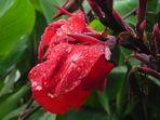 Rote Canna nach dem Regen