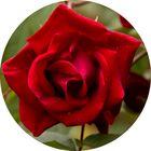 Rote Designer Rose als runde Vorlage für eCommerze