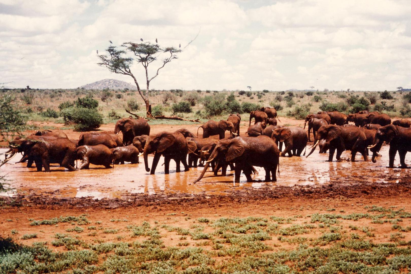 """Rote"" Elefanten in Kenia"