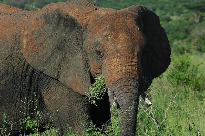 Rote Elefanten von Tsavo Ost