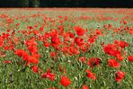Rote Farbkleckse im Rapsfeld (2)