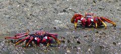 Rote Felsenkrabbe – Grapsus adscensionis