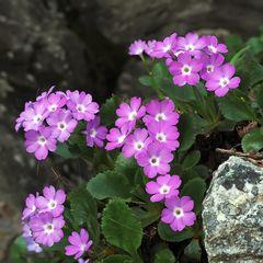 Rote Felsenprimel oder Behaarte Primel (Primula hirsuta)
