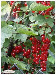 Rote Früchte im Britzer Garten