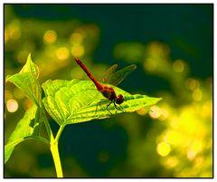 Rote Heidelibelle (reloaded)