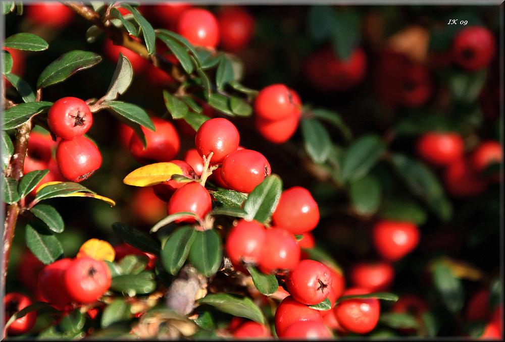 Rote Herbstfrüchte