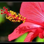 Rote Hibikusblüte