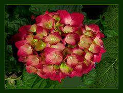 Rote Hortensie   II