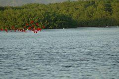 Rote Ibisse im Anflug