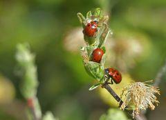 Rote Käfer