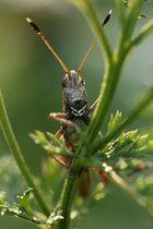 Rote Keulenschrecke (Gomphocerippus rufus)
