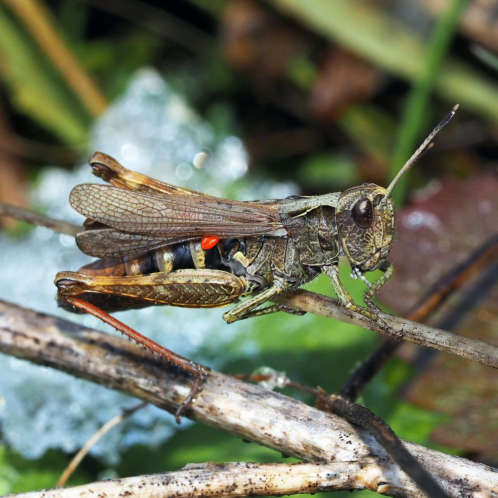 Rote Keulenschrecke (Gomphocerippus rufus), Weibchen