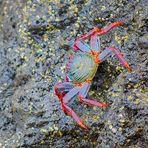 Rote Klippenkrabbe, (Grapsus grapsus), Grapsus grapsus,