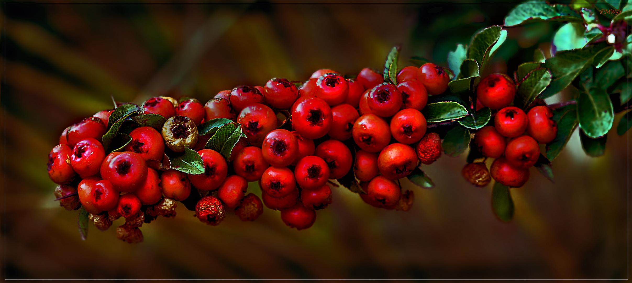 rote kullern am strauch foto bild pflanzen pilze flechten fr chte und beeren natur und. Black Bedroom Furniture Sets. Home Design Ideas