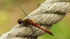 Rote Libelle 2
