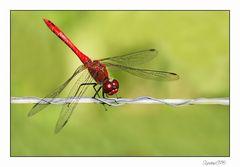 Rote Libelle....Soma Christi