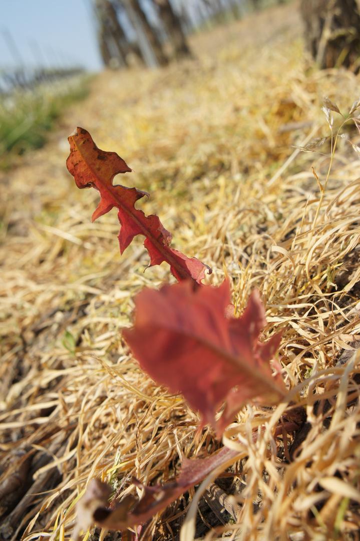 Rote Löwenzahnblätter