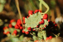 rote Minifrüchte