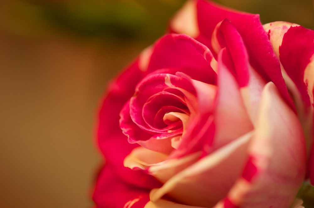 rote Minirose (1)