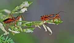 Rote Mordwanze (Rhynocoris iracundus) - La Réduve irascible.