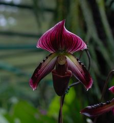 Rote Orchidee