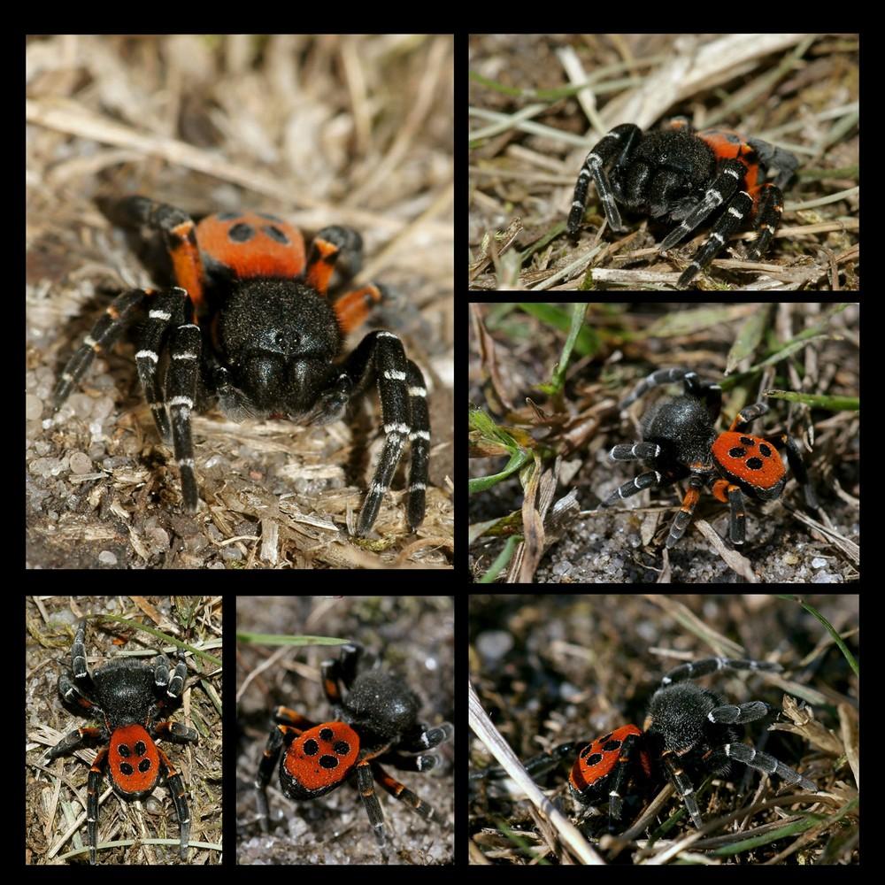 Rote Röhrenspinne, Männchen
