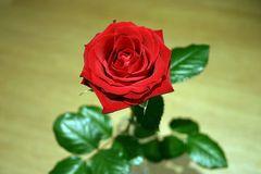 rote Rose #1
