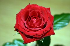 rote Rose #2