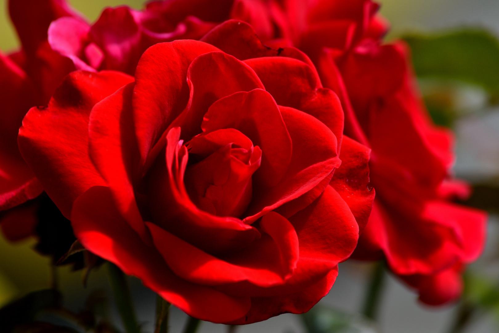 rote Rose 2