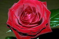 rote Rose #3