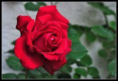 ...rote Rose