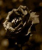 (Rote) Rose