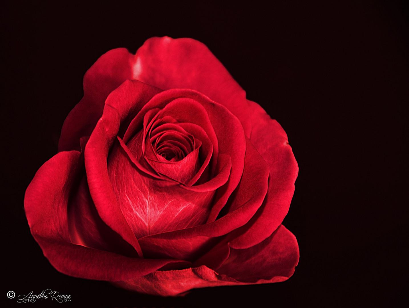 Rote Rosen Bild