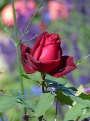 Rote Rose im Herbst!