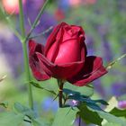 Rote Rose im Herbst!
