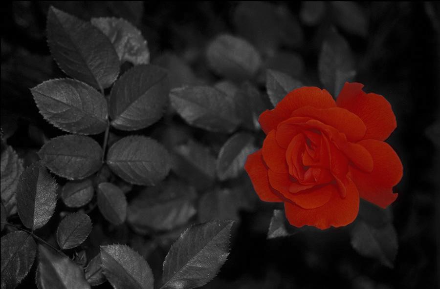rote rose in schwarz wei foto bild pflanzen pilze flechten bl ten kleinpflanzen. Black Bedroom Furniture Sets. Home Design Ideas