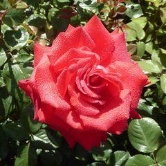 rote Rose mit Tropfen