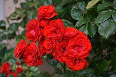 rote Rosen..