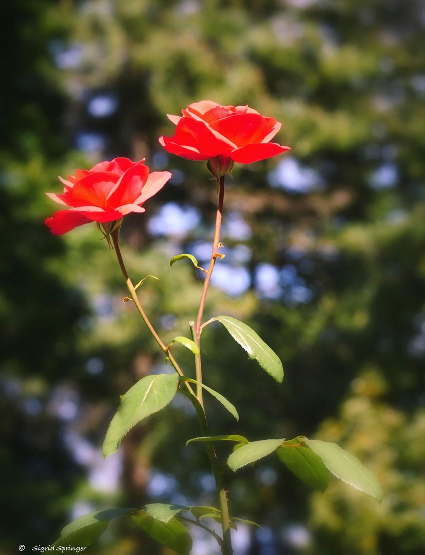 rote rosen foto bild natur rosen bl ten bilder auf fotocommunity. Black Bedroom Furniture Sets. Home Design Ideas