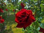 Rote Rosen...