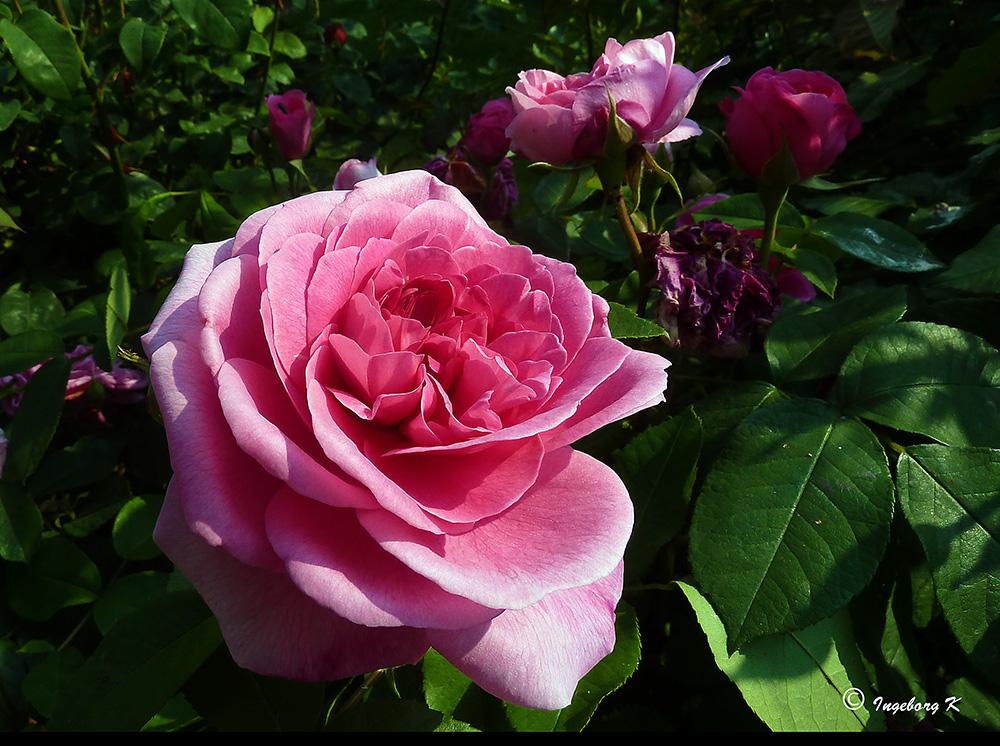 Rote Rosen - die Königin der Blumen