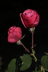 Rote Rosen mit Morgentau