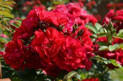 rote Rosen..2