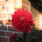 rote Schönheit im Abendlicht