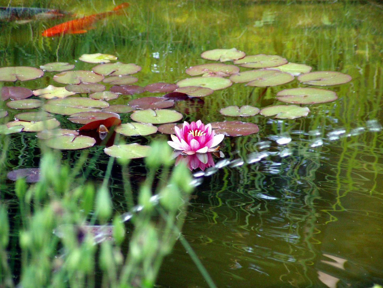 rote seerosen im teich mit koi foto bild pflanzen pilze flechten bl ten kleinpflanzen. Black Bedroom Furniture Sets. Home Design Ideas