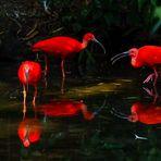Rote Sichler gespiegelt