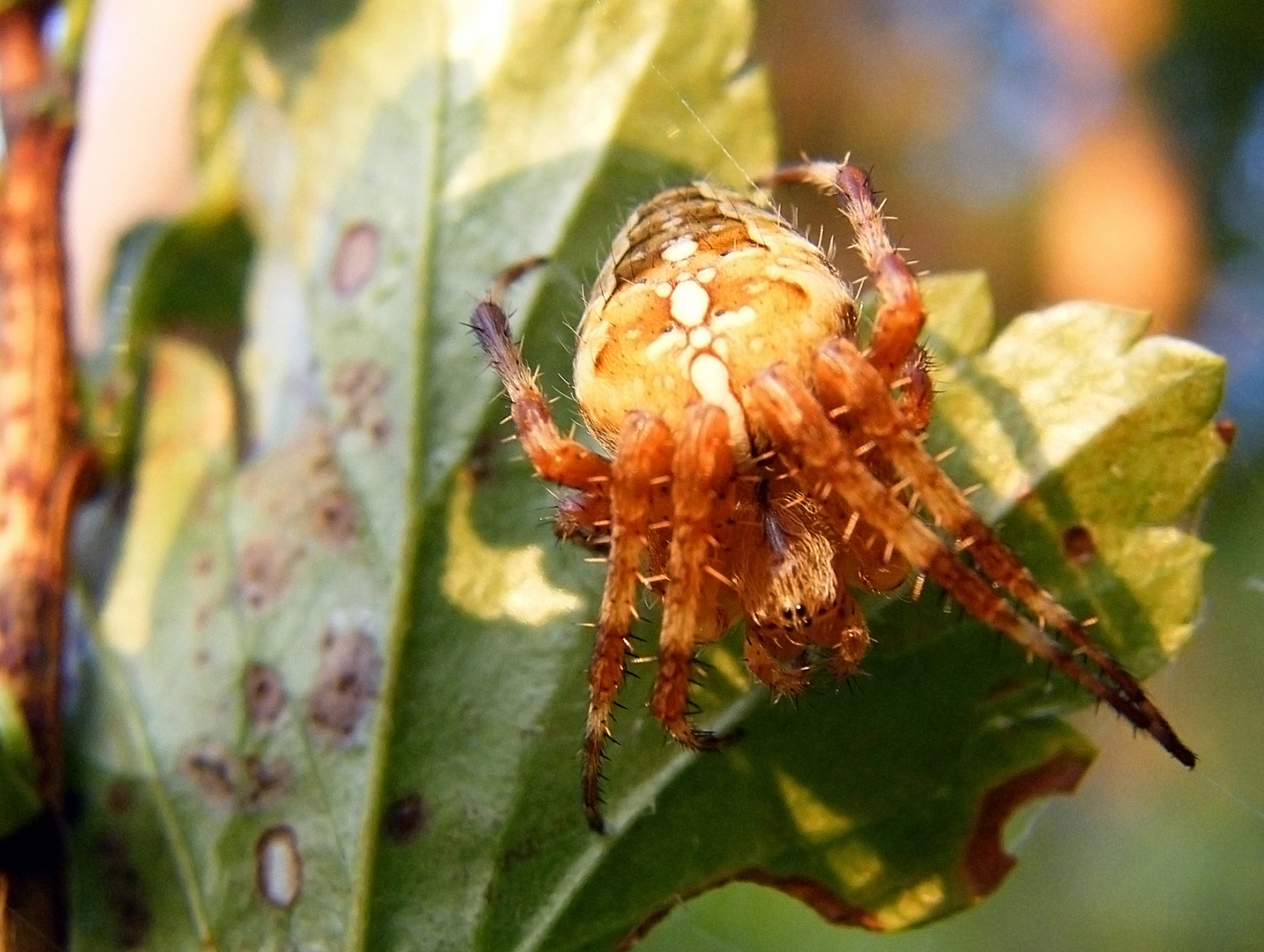 Rote Spinne