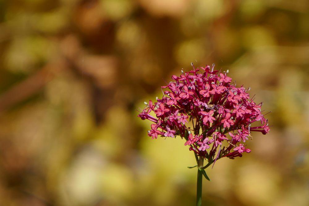 Rote Spornblume