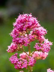 Rote Spornblume im Gegenlicht