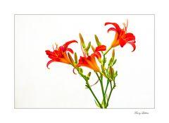 Rote Taglilie